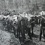 Mule Team at Howard Gap c. 1838